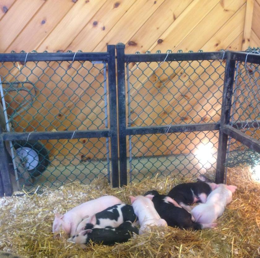Topsfield Fair pigs