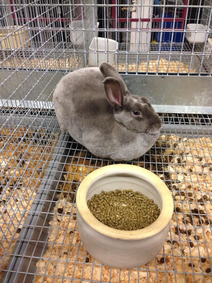 Topsfield Fair Rabbit